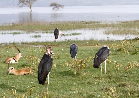 アフリカハゲコウ20