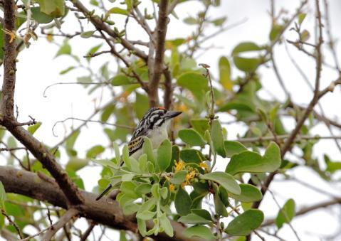 アカミミヒメゴシキドリ1