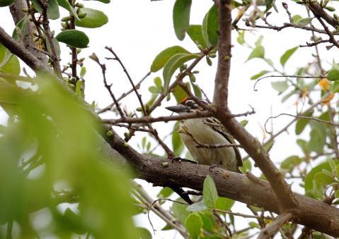 アカミミヒメゴシキドリ2