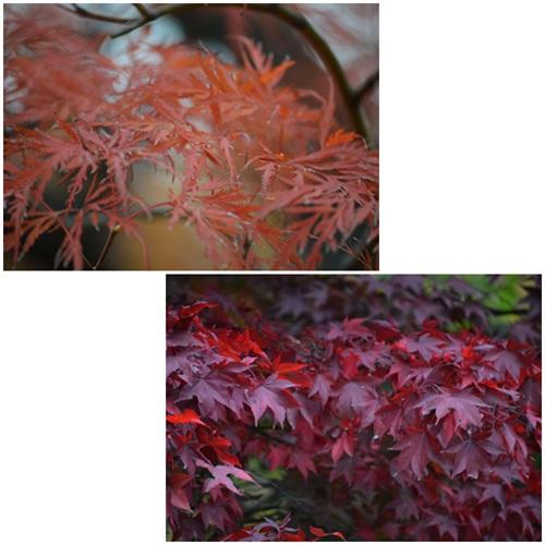 天神山緑地2014紅葉