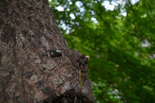 木にミヤマが