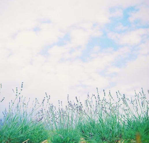 shio_ラベンダー畑a