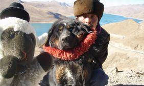 チベタンマスチフ