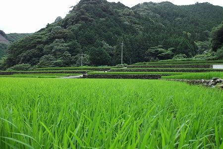 s-田圃の緑