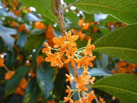 キンモクセイ(金木犀)花