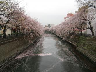 大岡川桜4