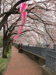 大岡川桜6