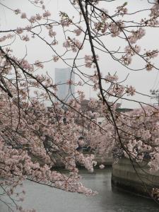 大岡川桜7