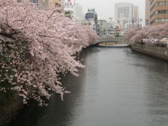 大岡川桜8