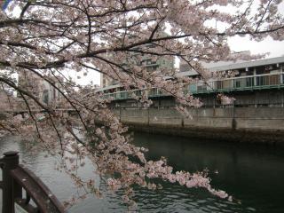 大岡川桜9