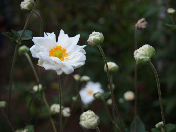 9,28白花八重シュウメイギク