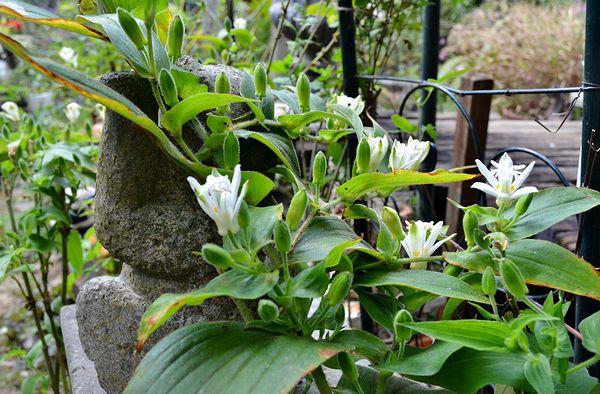 9,29白花ホトトギス