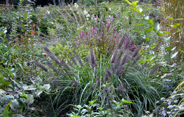 10,25植花夢-クロチカラシバ