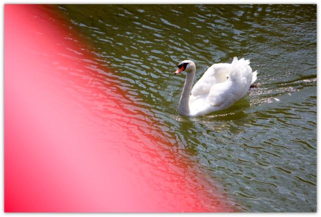 弘前公園 弘前さくらまつり 2013年4月25日