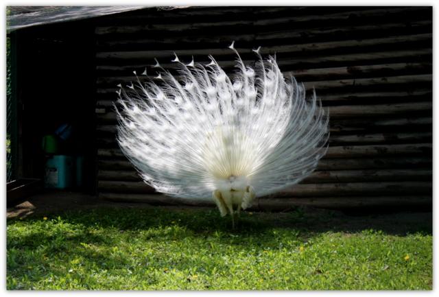 弘前公園 弘前城植物園 シロクジャク