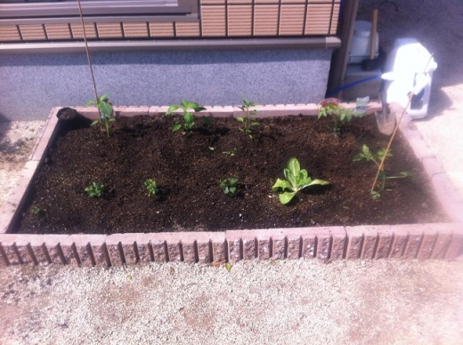 20120429003_手作り花壇に植えた野菜の苗