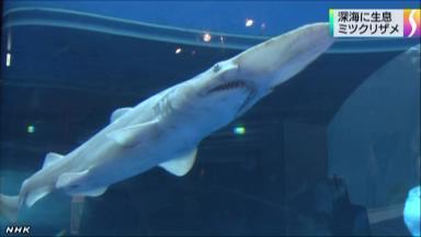 「ミツクリザメ」相模湾で捕獲