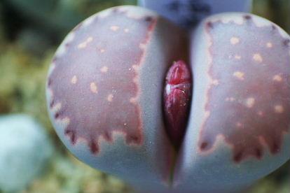 リトープス 紫福来玉