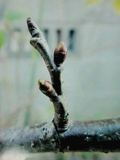 サクランボ花芽
