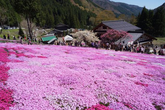 國田家の芝桜1
