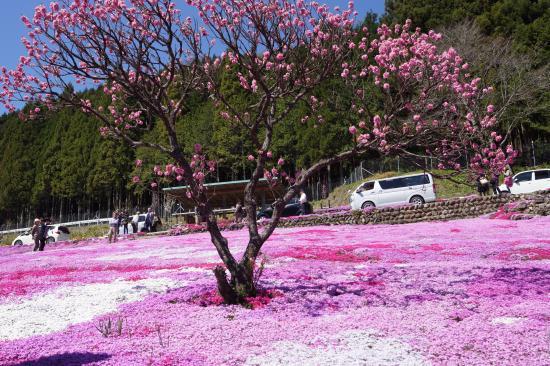 國田家の芝桜2