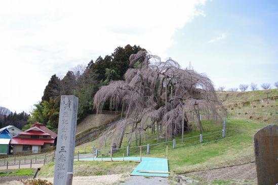 三春滝桜 1