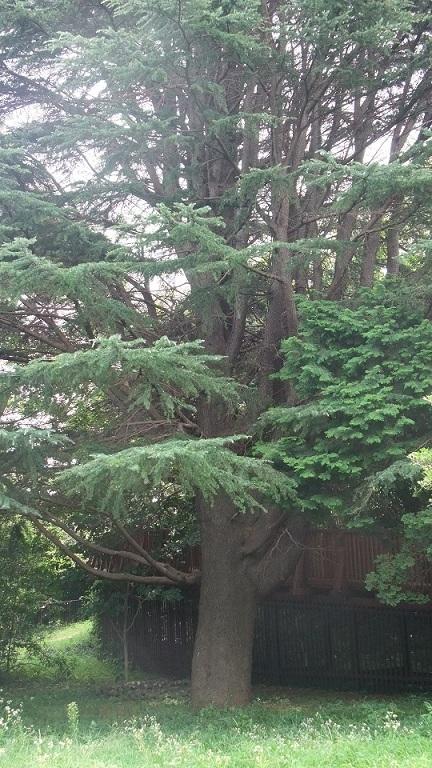 和田山天徳寺下針葉樹