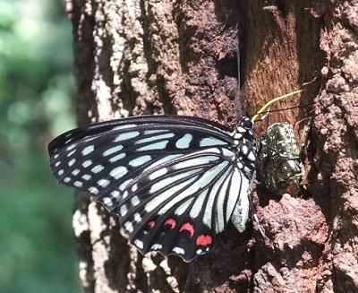 蝶の巻き舌22