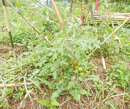 w-tomato-1.jpg
