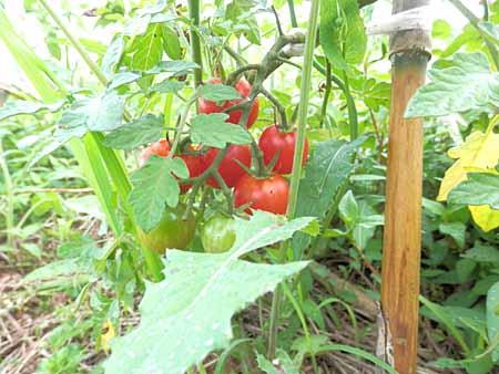 x-tomato-1.jpg