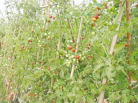 x-tomato-10.jpg