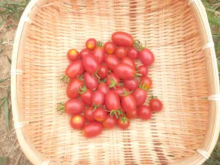 x-tomato-13.jpg