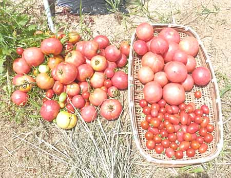 x-tomato-4.jpg