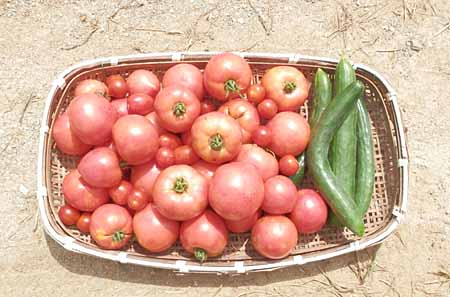 x-tomato-5.jpg