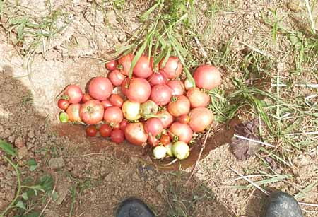 x-tomato-6.jpg