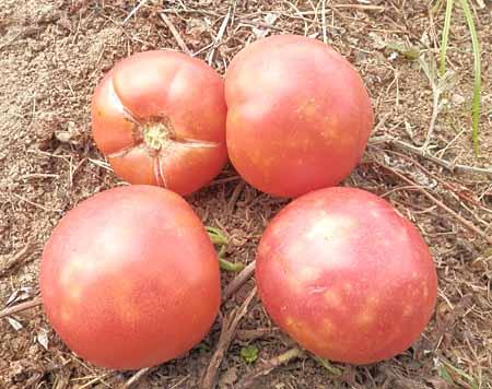 x-tomato-7.jpg