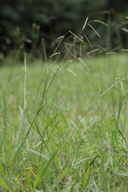 シマスズメノヒエ(島雀の稗)
