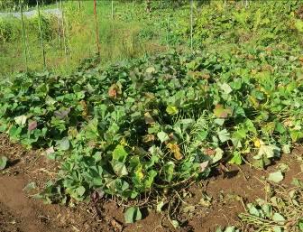 サツマイモ菜園11月