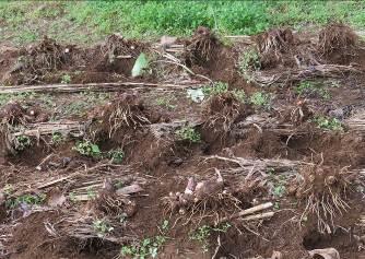 サトイモ掘り出し