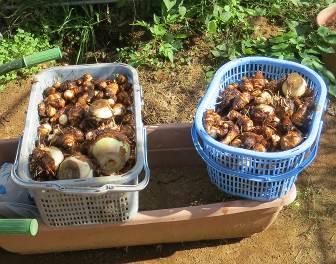 サトイモ収穫物11月
