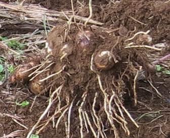 サトイモ親イモからの増殖