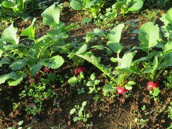 赤玉ラデッシュ菜園11月
