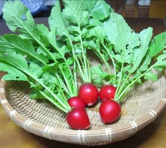 赤玉ラデッシュ収穫物