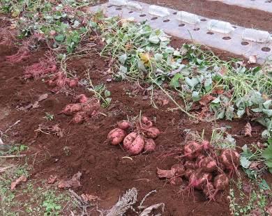 雑草抑制用サツマイモのイモ