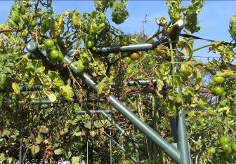 トマト菜園11月