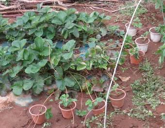 イチゴ11月の苗取り(2)