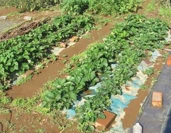 イチゴ菜園11月