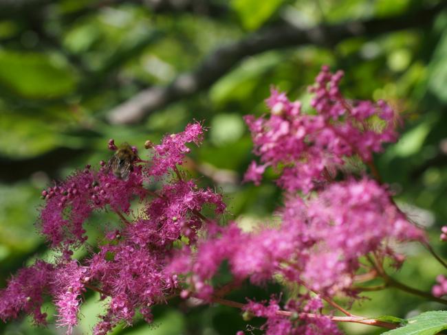 蜂とピンクの野草