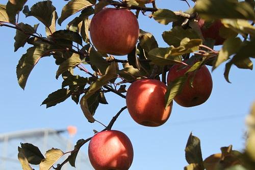13リンゴ狩り3