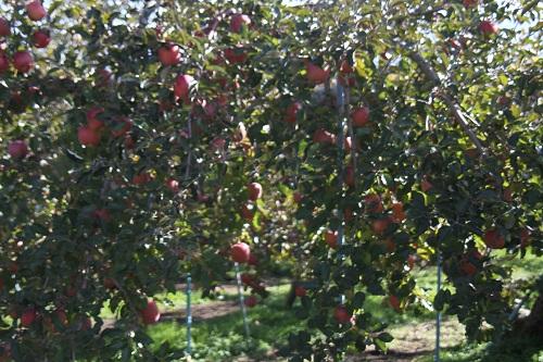 13リンゴ狩り2